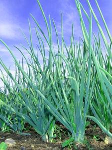 Стихи про зеленый лук