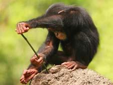 Интересные истории из жизни обезьян