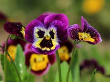 Стихи про цветы. Анютины глазки