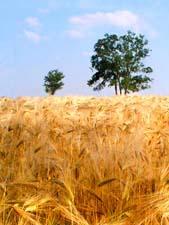 Стихи о хлебе В.П.Лебедева